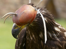 Golden Eagle on hood Stock Image