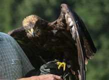 Golden Eagle - Illinois, falconry, Vorarlberg, Austria Royalty Free Stock Photos
