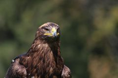 Golden Eagle - Illinois, falconry, Vorarlberg, Austria Stock Photography