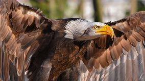 Free Golden Eagle In Flight, In The Foreground Stock Photography - 161689072