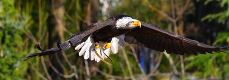 Free Golden Eagle Is Flying Royalty Free Stock Photo - 87957375