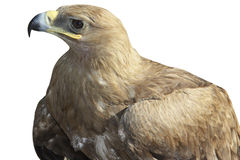 Golden eagle, isolated. A golden eagle with spread wings, isolated Royalty Free Stock Photo