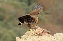 golden eagle with its prey Stock Photos