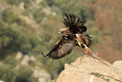 Golden eagle with its prey observed from the rock Royalty Free Stock Photography