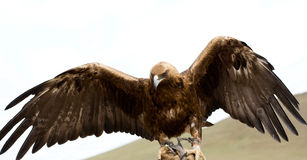 Golden Eagle with its wings spread. Golden eagle with spread wings in captivity royalty free stock photo