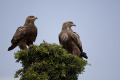 Golden Eagle in Kenia Royalty Free Stock Image