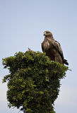 Golden Eagle in Kenya Royalty Free Stock Photos