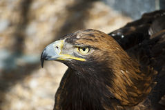 Golden Eagle Royalty Free Stock Images