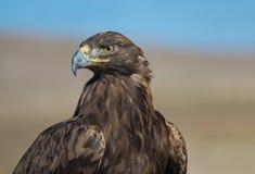 Golden Eagle of Kyrgyzstan royalty free stock photo