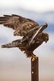 dark phase Rough-legged hawk Buteo lagopus Stock Images