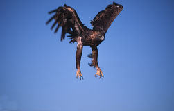 Golden eagle landing Royalty Free Stock Image