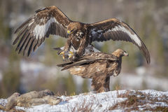 Golden eagle landing. A golden eagle coming in to land near a roe carcass, a second eagle sports a full crop Stock Photo
