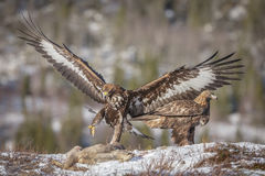 Golden eagle landing Royalty Free Stock Photo