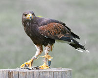 Golden Eagle (lat. Aquila chrysaetos) Royalty Free Stock Image