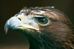 Golden Eagle (lat. Aquila chrysaetos) Stock Photography