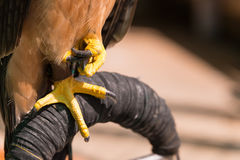 Golden Eagle legs close up Royalty Free Stock Photography