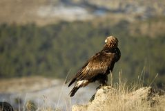 Golden eagle looking at the forest Stock Image
