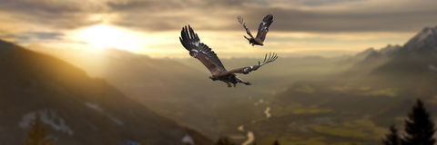 Golden Eagle. Majestic Golden Eagle flying at sunset royalty free stock image