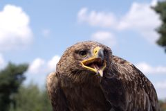 Golden eagle makes some noise Stock Photos