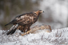 Golden Eagle Royalty Free Stock Photos