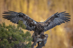 Golden eagle with marten Stock Photo
