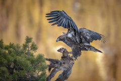 Golden eagle with marten Stock Image