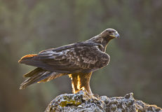Golden Eagle. The most powerful Spanish diurnal raptor has caught a rabbit in the last hours of the day Stock Image