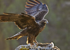 Golden Eagle. The most powerful Spanish diurnal raptor has caught a rabbit in the last hours of the day Royalty Free Stock Photos