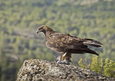 Golden Eagle. The most powerful Spanish diurnal raptor in this occasion has captured a dove Stock Photos