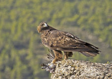Golden Eagle. The most powerful Spanish diurnal raptor in this occasion has captured a dove Stock Photography