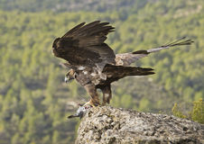 Golden Eagle. The most powerful Spanish diurnal raptor in this occasion has captured a dove Stock Images