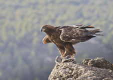 Golden Eagle. The most powerful Spanish diurnal raptor in this occasion has captured a dove Royalty Free Stock Images