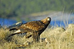Golden eagle on the mountain Stock Photo