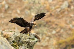 Golden eagle in a mountain Stock Photos