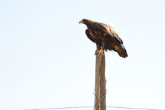 Golden Eagle On Old Fencepost Light Background Stock Photography