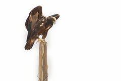Golden Eagle On Old Fencepost White Background Stock Photo