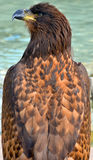 The golden eagle. Is one of the best-known birds of prey in the Northern Hemisphere. It is the most widely distributed species of eagle Royalty Free Stock Images