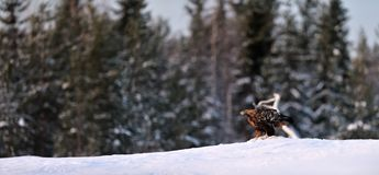 Golden Eagle panorama on the snow in the evening Stock Photo