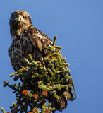 Golden Eagle 1. Golden Eagle peers down while perched on Spruce tree Royalty Free Stock Image