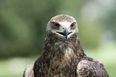 Golden eagle portrait Stock Photos