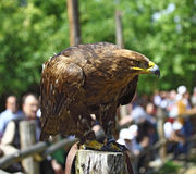 Golden eagle portrait Royalty Free Stock Images