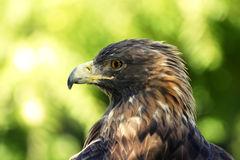 Golden eagle portrait Royalty Free Stock Photography