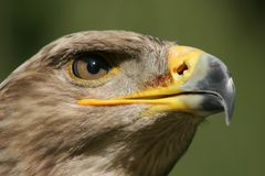 Golden eagle portrait. Portrait of a golden eagle with a green background Royalty Free Stock Image