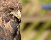 Golden Eagle Portrait. Portrait of the Golden Eagle, a bird of prey, in 3/4 profile. Isolated by shallow depth of field. Horizontal for mat royalty free stock photography