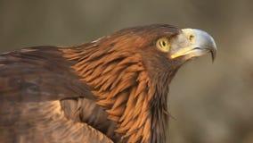 Golden eagle stock video