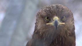 Golden eagle portrait. Golden eagle bird of pray portrait, UHD 4K stock footage