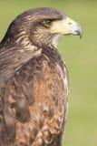Golden eagle portrait Stock Image