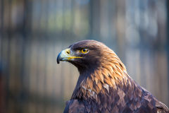 Golden Eagle, portrait of the king of the sky. Stock Photography