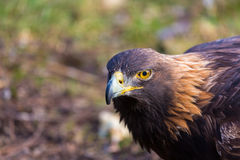 Golden Eagle, portrait of the king of the sky. Royalty Free Stock Photography