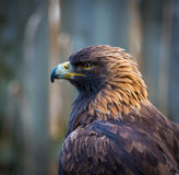 Golden Eagle, portrait of the king of the sky. Royalty Free Stock Photo